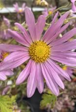 - Chrysanthemum Raspberry Sorbet, #1 Container