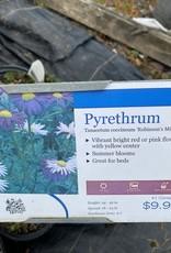 Tanacetum Robinson's Mix Pyrethrum, Robinson's Mix, #1