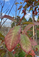 Nyssa sylvatica Wildfire Black Gum, Wildfire, #15