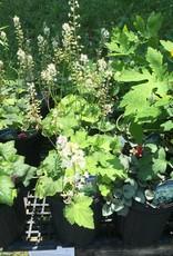 Tiarella cord. Foamflower, #1