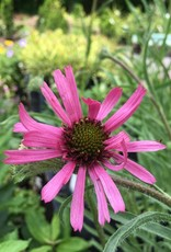 Echinacea tenn. Rocky Top Coneflower, Tennesee, Rocky Top, #1