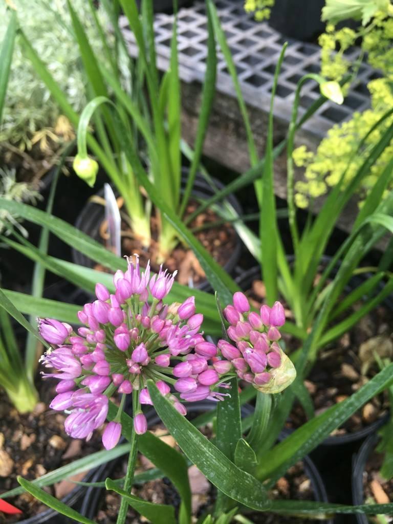 Allium Millenium Onion - Ornamental Onion, Millenium, #1