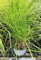 Seslaria autumnalis Grass - Autumn Moor, QT