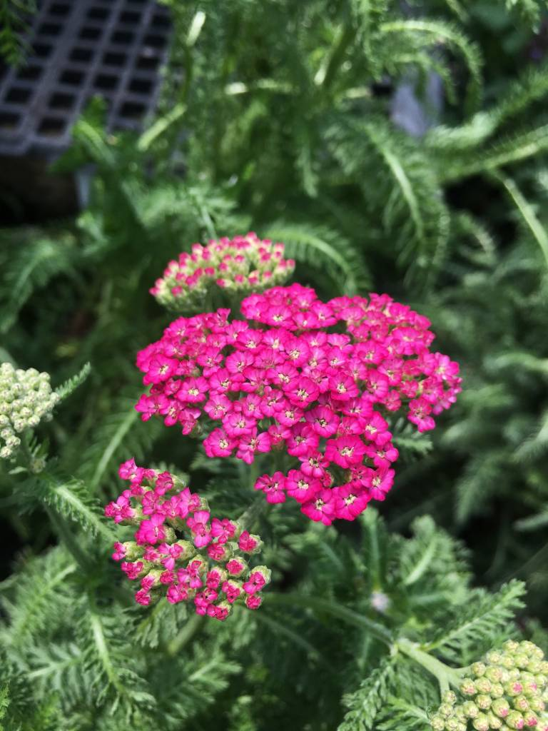 Picture of Live Yarrow (violet) aka Achillea 'New Vintage Violet' Plant Fit 1 Gallon Pot