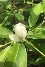 Magnolia virginiana Magnolia - Sweetbay, #7