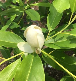 Native Tree Magnolia virginiana Magnolia, Sweetbay, #3