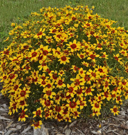 coreopsis vert. Sizzle & Spice Curry Up, Coreopsis #1