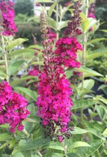 Buddleia Miss Molly Butterfly Bush, Miss Molly, #3