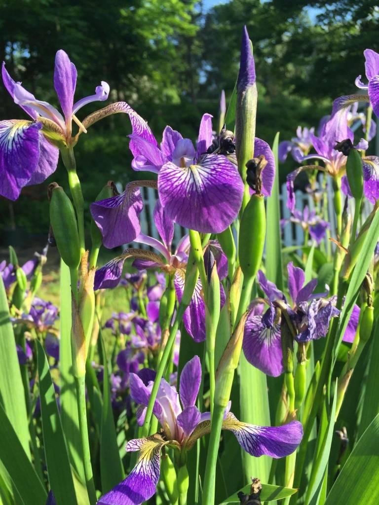 Iris siberica Caesar's Brother Iris - Siberian, Caeser's Brother, #1