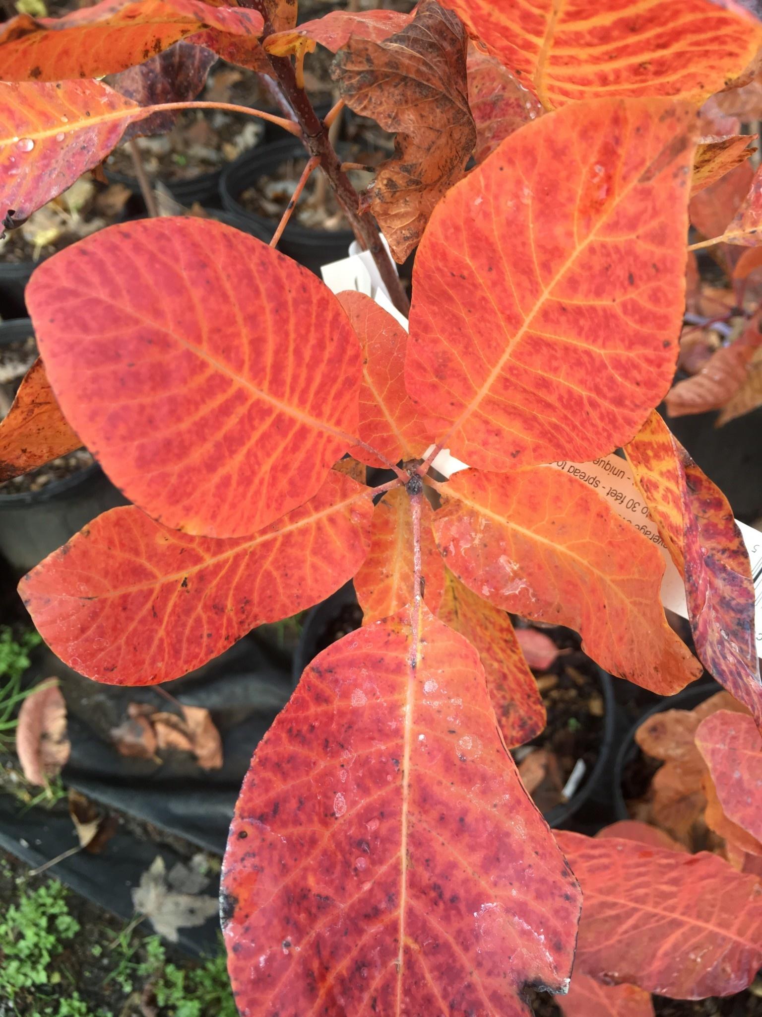 Native Tree Cotinus obovatus Smoketree, American, #7