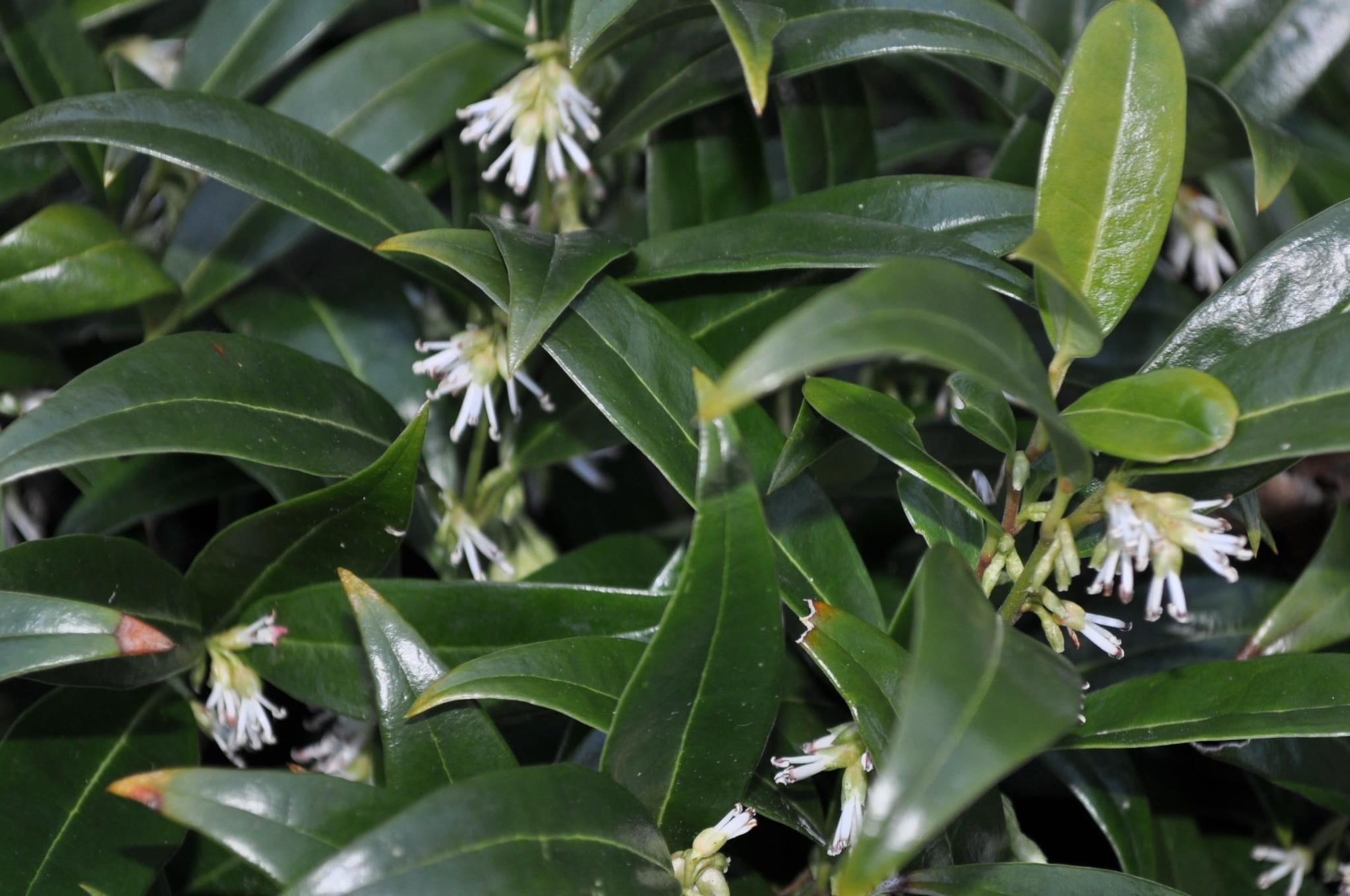 Sarcococca hookeriana humilis Sweetbox, Dwarf, #1
