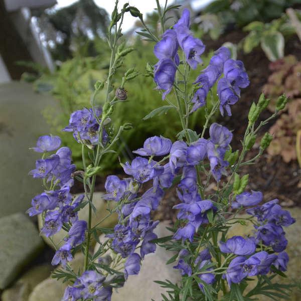 Aconitum napellus, Monkshood, #1