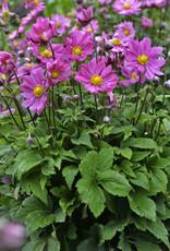 New Anemone Curtain Call Deep Rose- Anemone