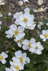 New Anemone Honorine Jobert Anemone, Honorine Jobert, #1