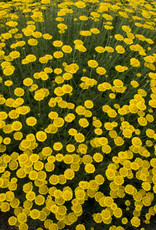 New Anthemis tinctoria Charme, Dwarf Golden Marguerite #1