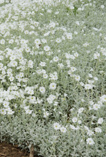 New Cerastium tomentosum Yo Yo, Snow in Summer #1