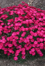 New Dianthus Paint the Town Red, Pinks #1