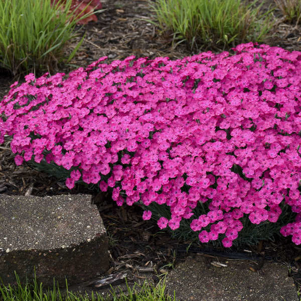New Dianthus Paint the Town Magenta, Pinks #1