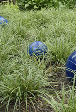 Carex m. Ice Ballet Grass - Ornamental Sedge, Ice Dance, #1