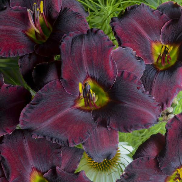 New Hemerocallis Raspberry Suede, Daylily #1