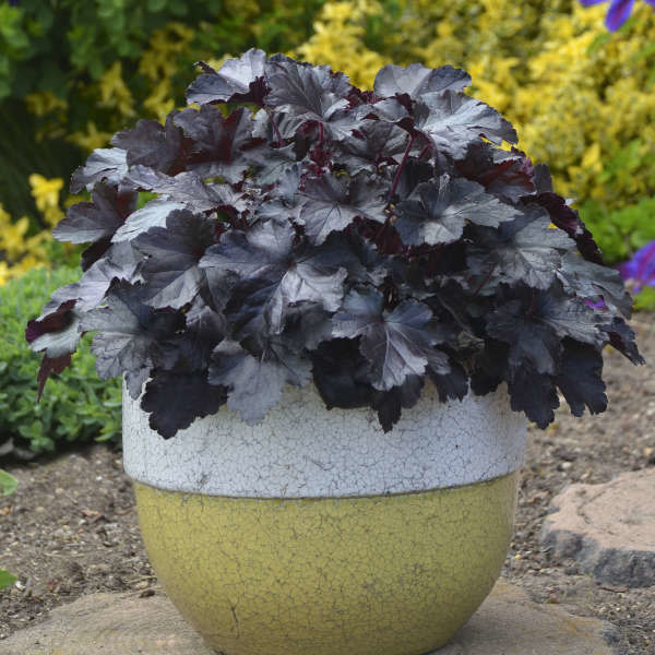 New Heuchera Black Pearl, Coral Bells #1
