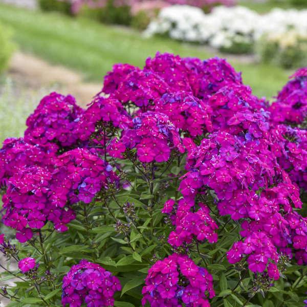 New Phlox paniculata Ultraviolet, Tall garden phlox #1