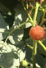 Rubus Fall Gold Raspberry, Fall Gold, #3