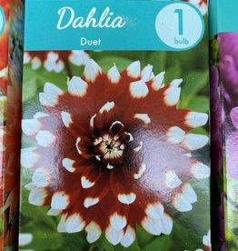 Dahlia Duet, Boxed tuber