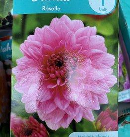 Dahlia Rosella, Boxed tuber