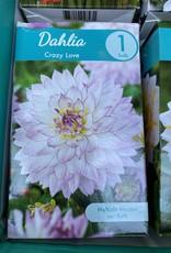 Dahlia Crazy Love, Boxed tuber
