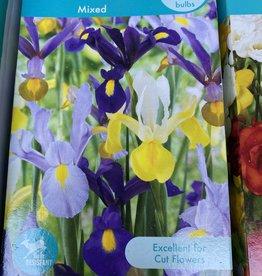 Iris Hollandica, Dutch Iris Mixed 8 boxed bulbs