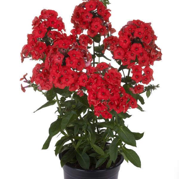 Phlox pan. Flame Red Phlox - Garden Phlox, #1
