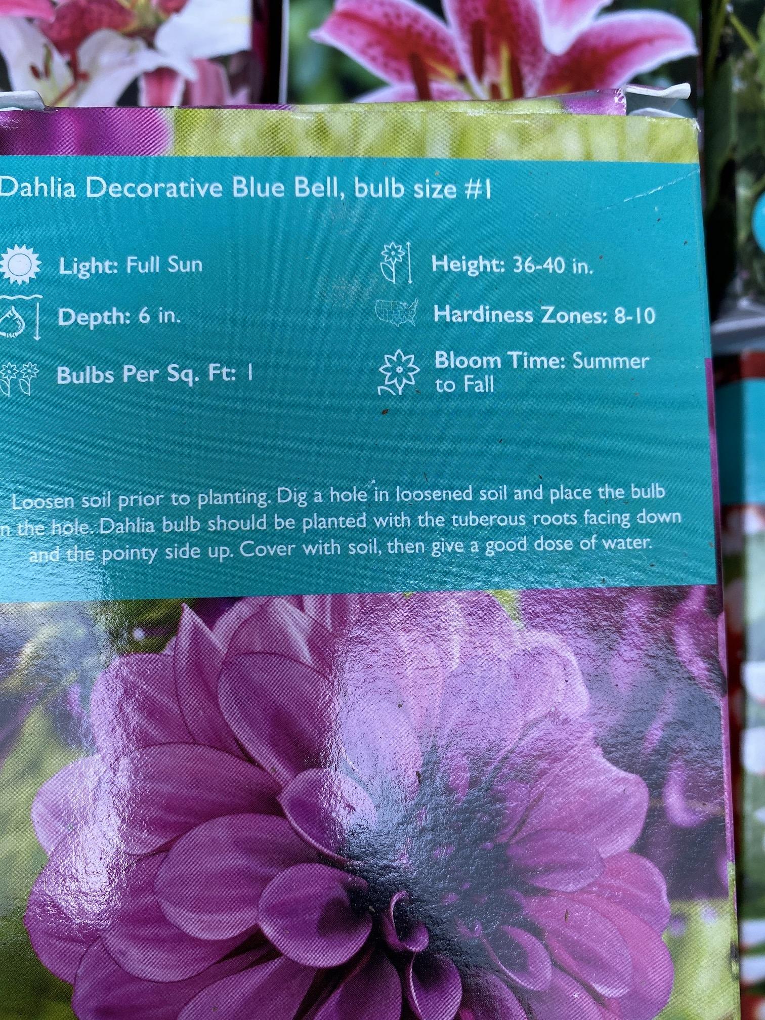 Dahlia Blue Bell, Boxed tuber