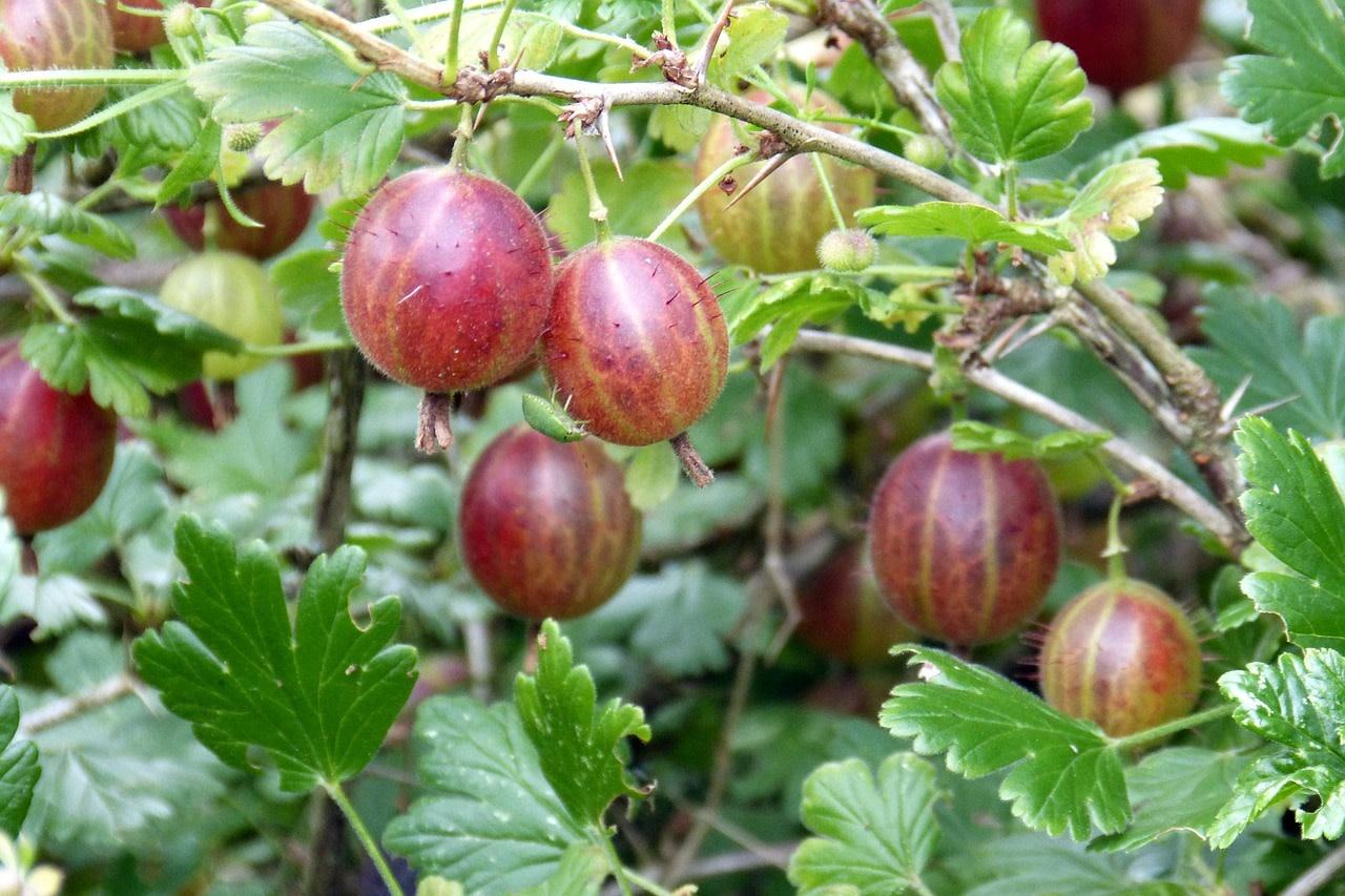 Ribes Pixwell, Gooseberry #3