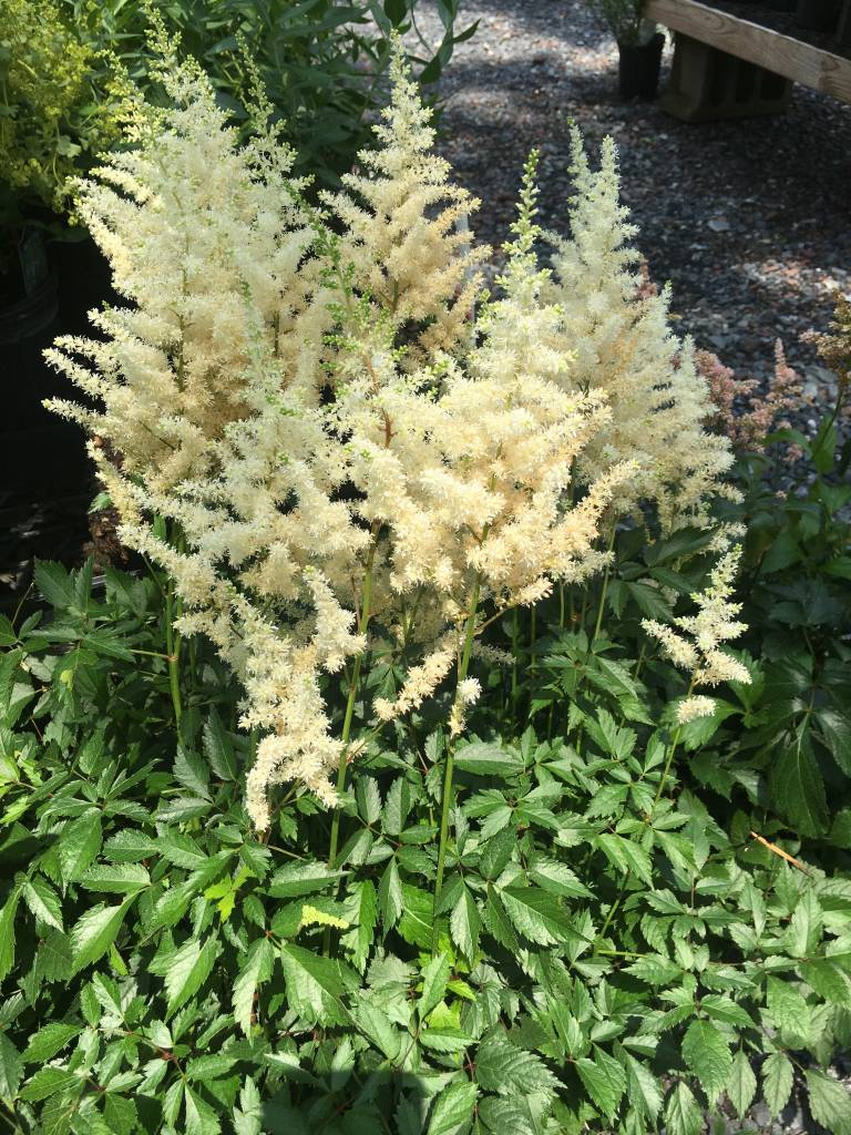 Astilbe x Diamond Astilbe, Diamond, #3