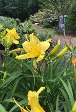 Hemerocallis Happy Returns Daylily, Happy Returns, #1