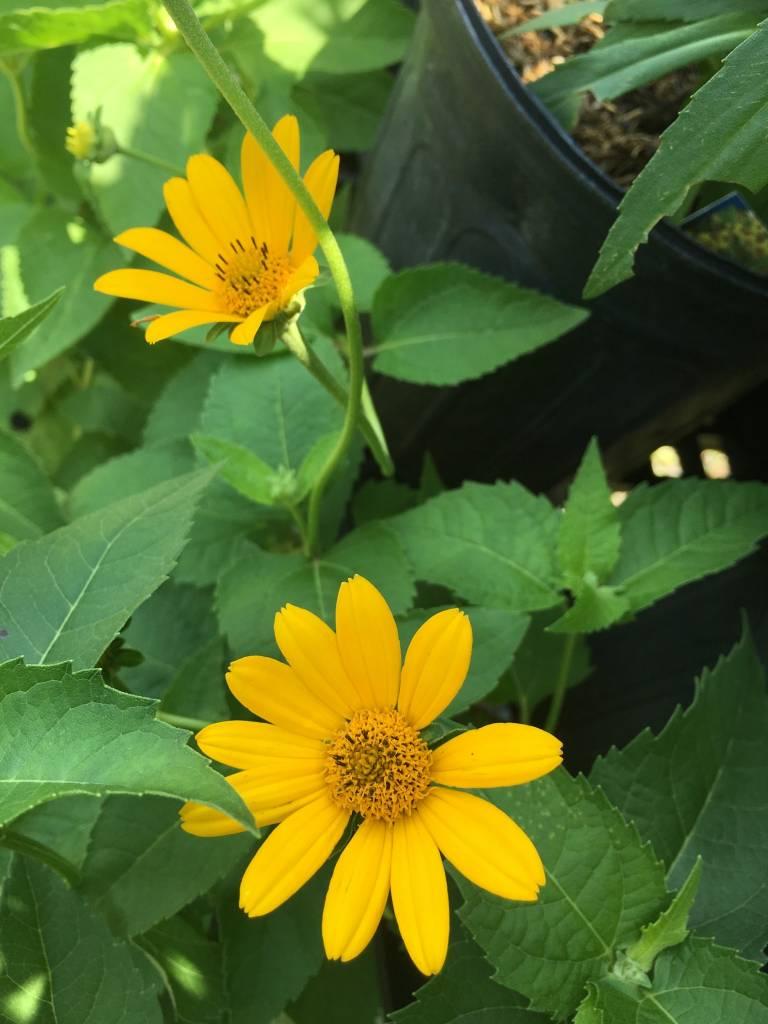 Heliopsis helianthoides False Sunflower, #1