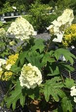 Nativar Shrub Hydrangea querc. Gatsby Gal Hydrangea - Oakleaf, Gatsby Gal, #3