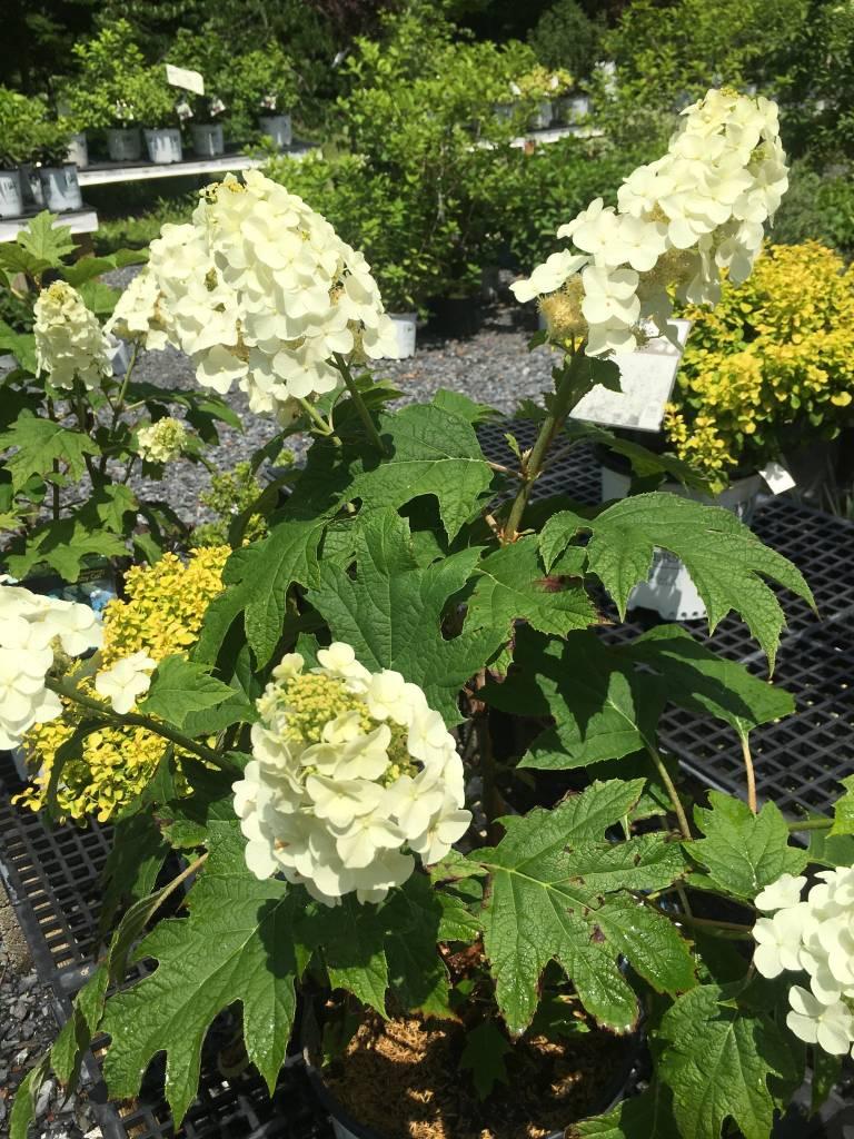 Hydrangea querc. Gatsby Gal Hydrangea - Oakleaf, Gatsby Gal, #3