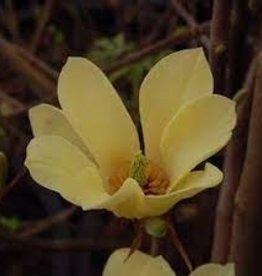 Magnolia x Yellow Lantern Magnolia - Hybrid, Yellow Lantern, #7