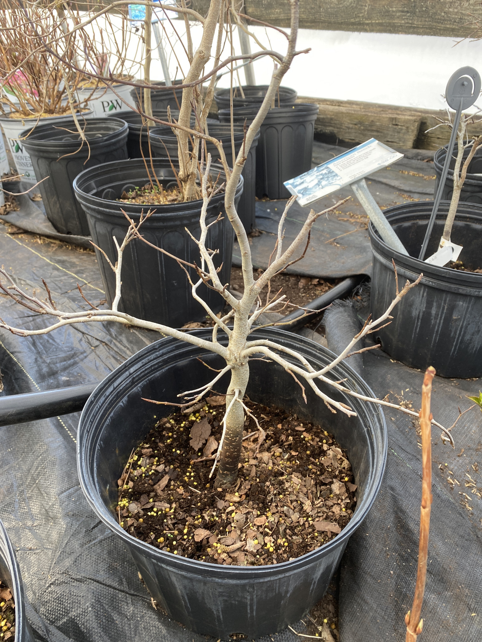 Fagus grandifolia Beech, American, #3