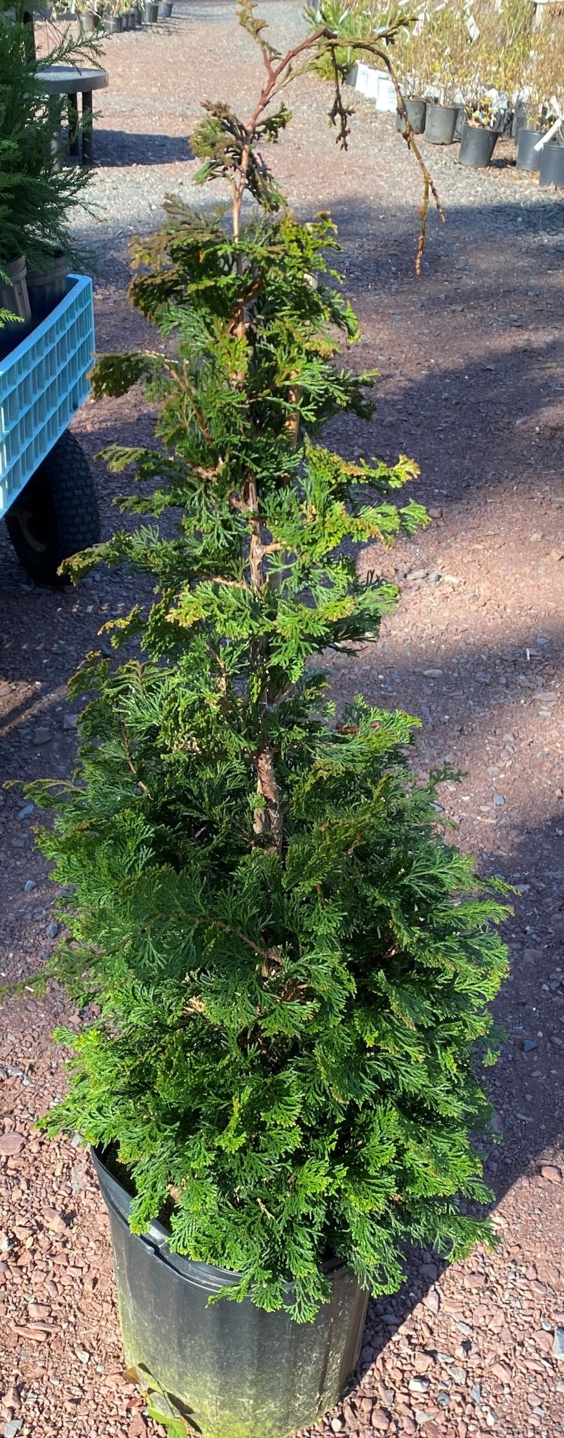 Chamaecyparis ob. Wells Special False Cypress, Well's Special Hinoki, #3