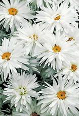 Leucanthemum Crazy Daisy Daisy - Shasta, Crazy Daisy, #1