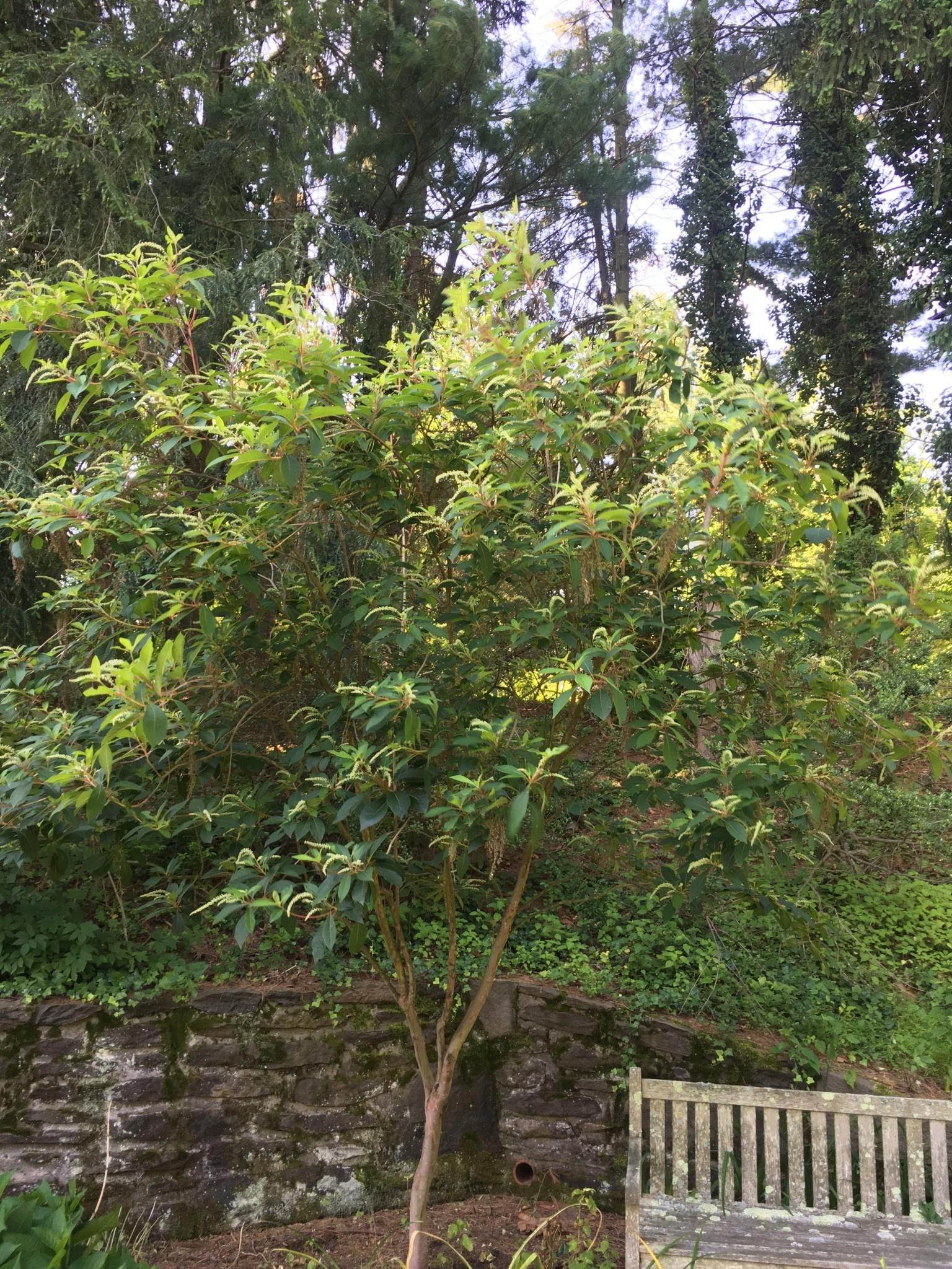 Clethra barbinervis, Summersweet #7