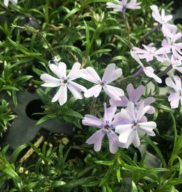 Phlox sub. Emerald Blue Phlox - Creeping, Emerald Blue, #1