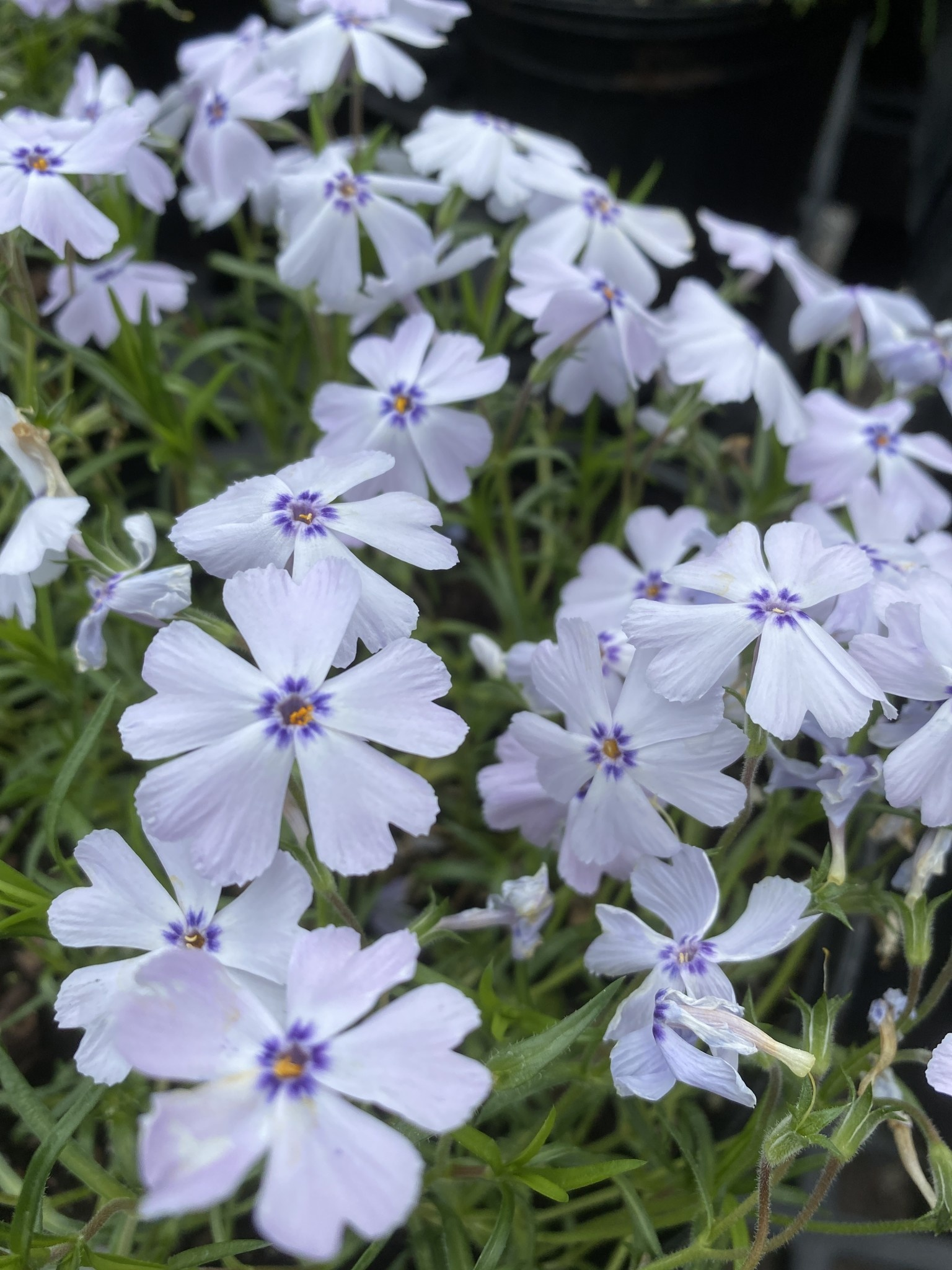 Phlox sub. Goldiphlox light Blue Phlox - Creeping, Blue, #1