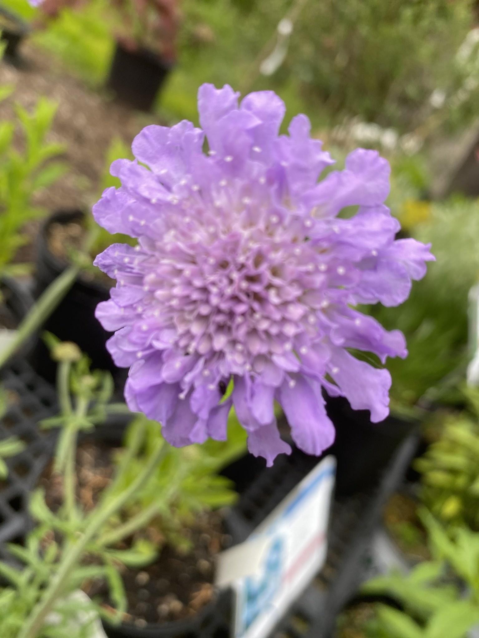 Scabiosa Butterfly Blue Pincushion Flower, Butterfly Blue, #1
