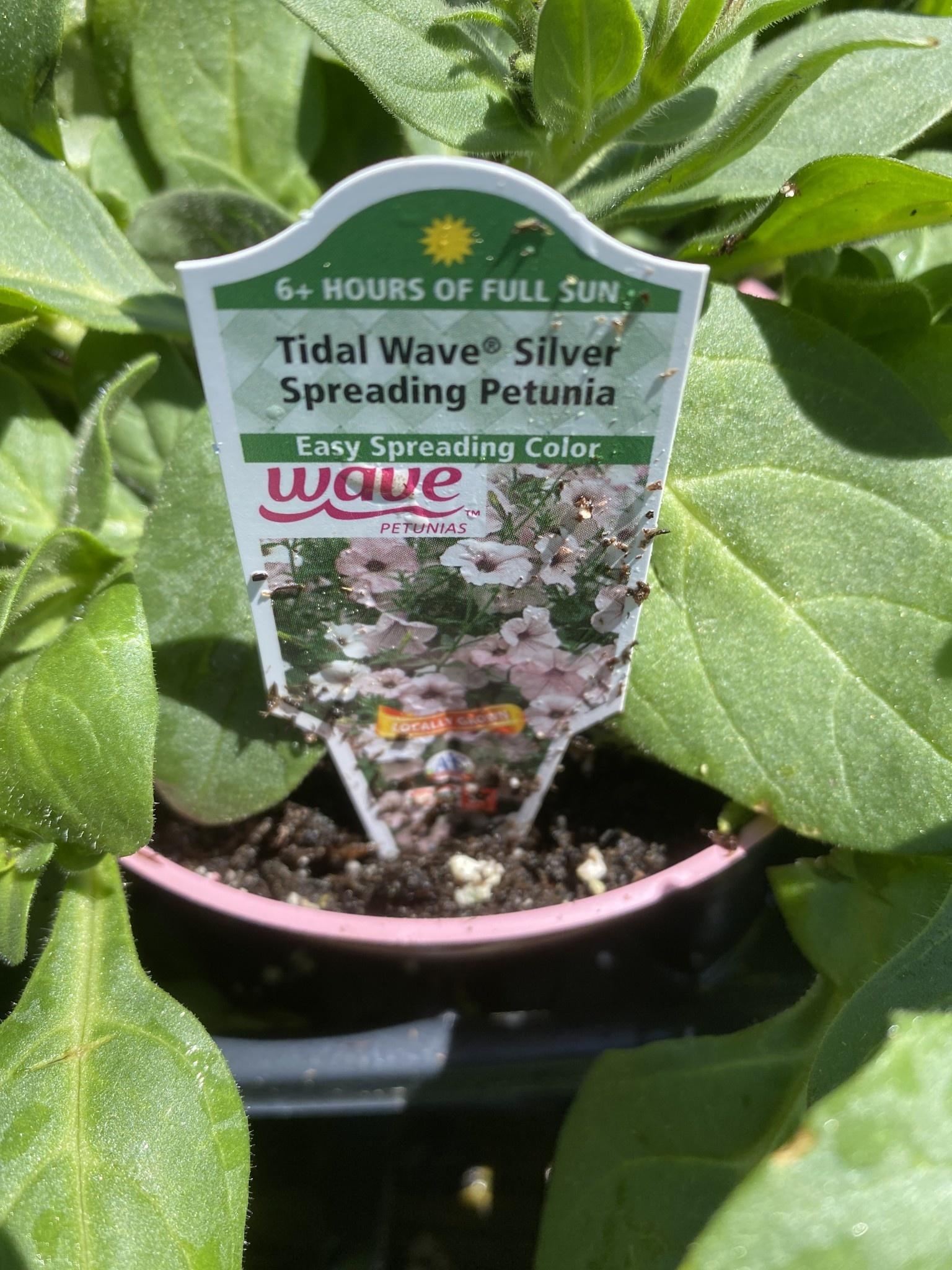"""Petunia, Tidal Wave Silver, 4.5"""" pot"""