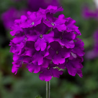 "Verbena, Lanai purple, 4.5"" pot"