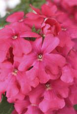 """Verbena, Lanai Pink, 4.5"""" pot"""